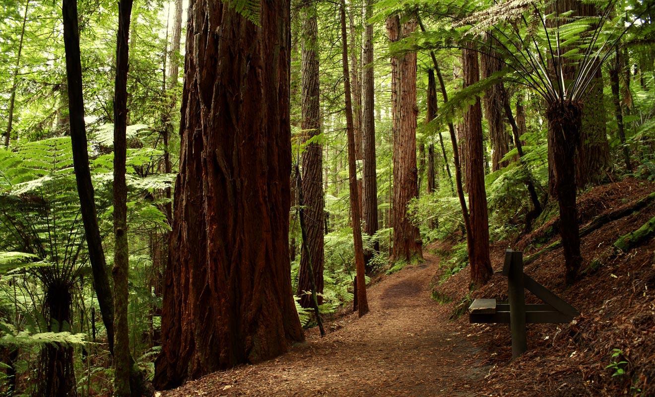 La forêt est née d'un projet qui visait à planter différentes espèces d'arbre pour mesurer leur adaptation au climat de la région. Le Giant Coastal California Redwood est sans doute l'arbre qui s'est le mieux adapté.