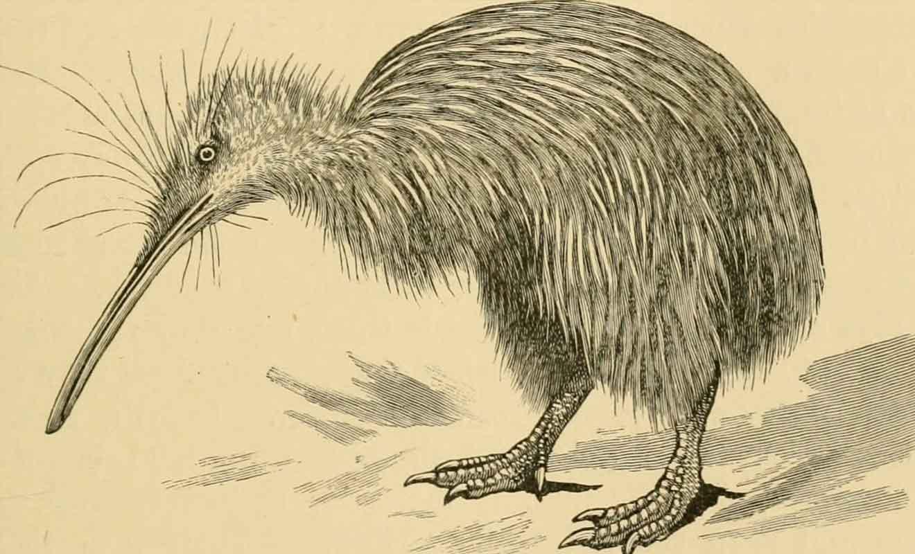 Contrairement à ce que l'on peut voir de prime abord, le kiwi possède encore deux moignons à la place de ses ailes qui se sont atrophiées au cours des siècles d'évolution.