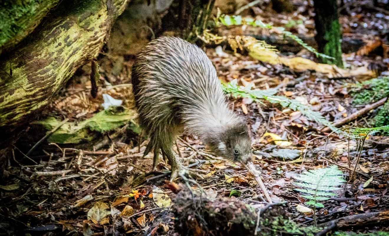 Contrairement à leurs cousins des îles sud et nord, les kiwis de Stewart Island ne vivent pas la nuit, mais le jour.