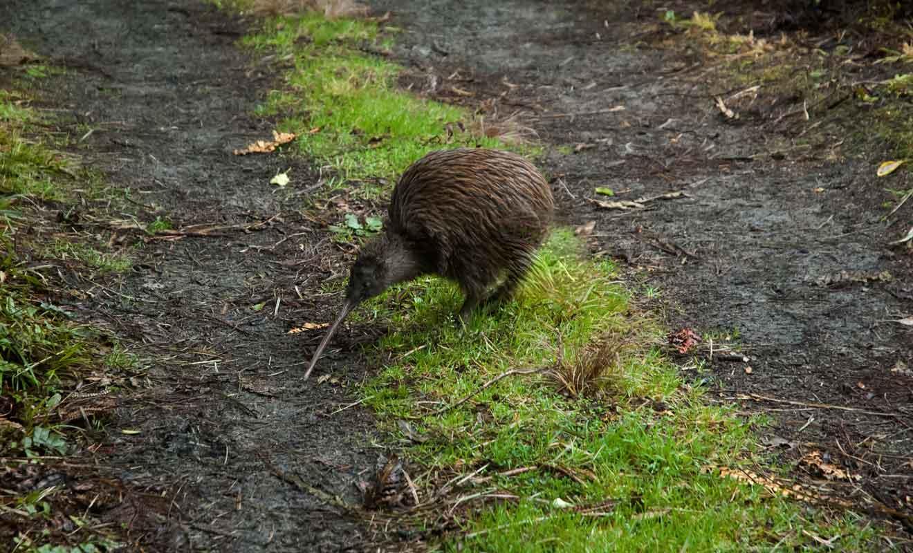 Même si le kiwi ne semble pas timide de prime abord, un rien l'effraie et il est recommandé de conserver ses distances.