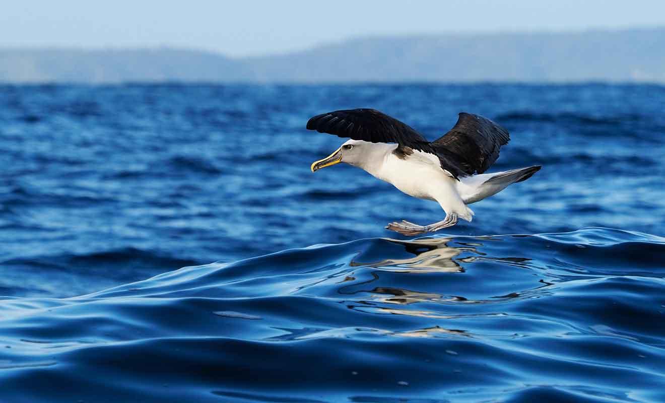 Les albatros escortent souvent les bateaux en espérant dévorer quelques poissons rejetés par les marins.
