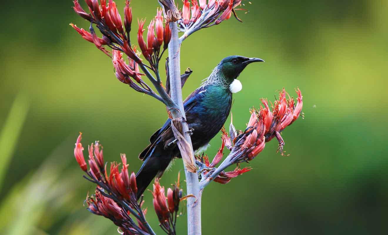 Cet oiseau est aisément reconnaissable à sa gorge avec une plume blanche.