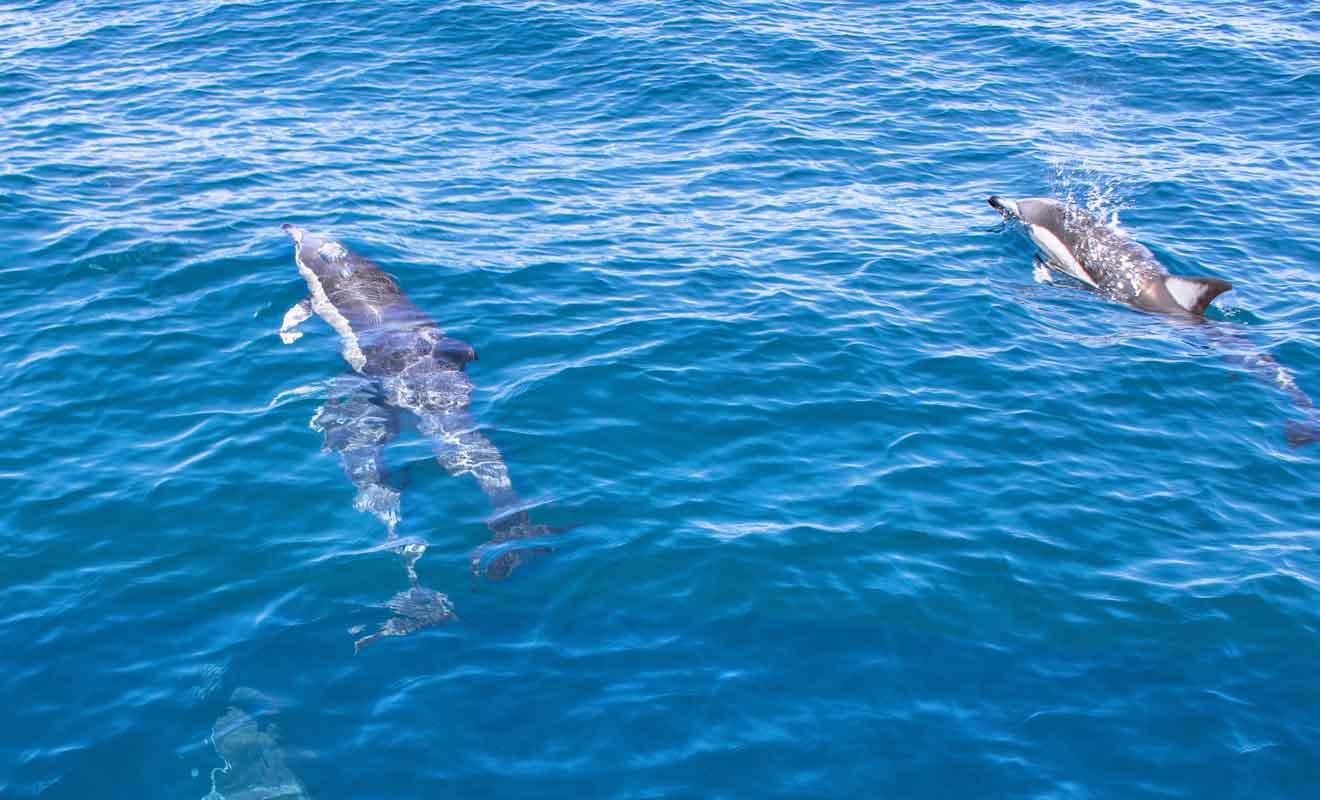 On compte parfois plusieurs centaines d'individus dans un banc de dauphin !