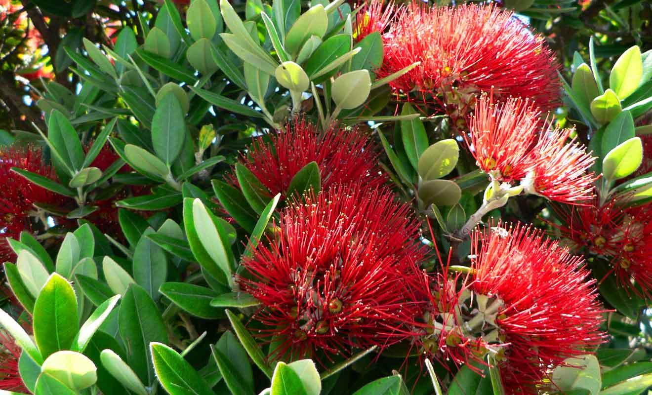Les Pohutukawas sont considérés comme des arbres de Noël en Nouvelle-Zélande, car ils se couvrent de fleurs rouges durant la période des fêtes.