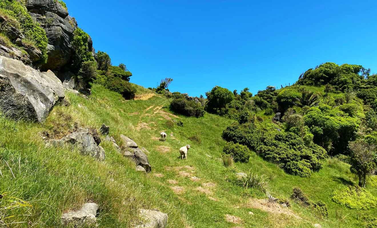 Te Hapu possède 1450 moutons et 140 têtes de bétail.