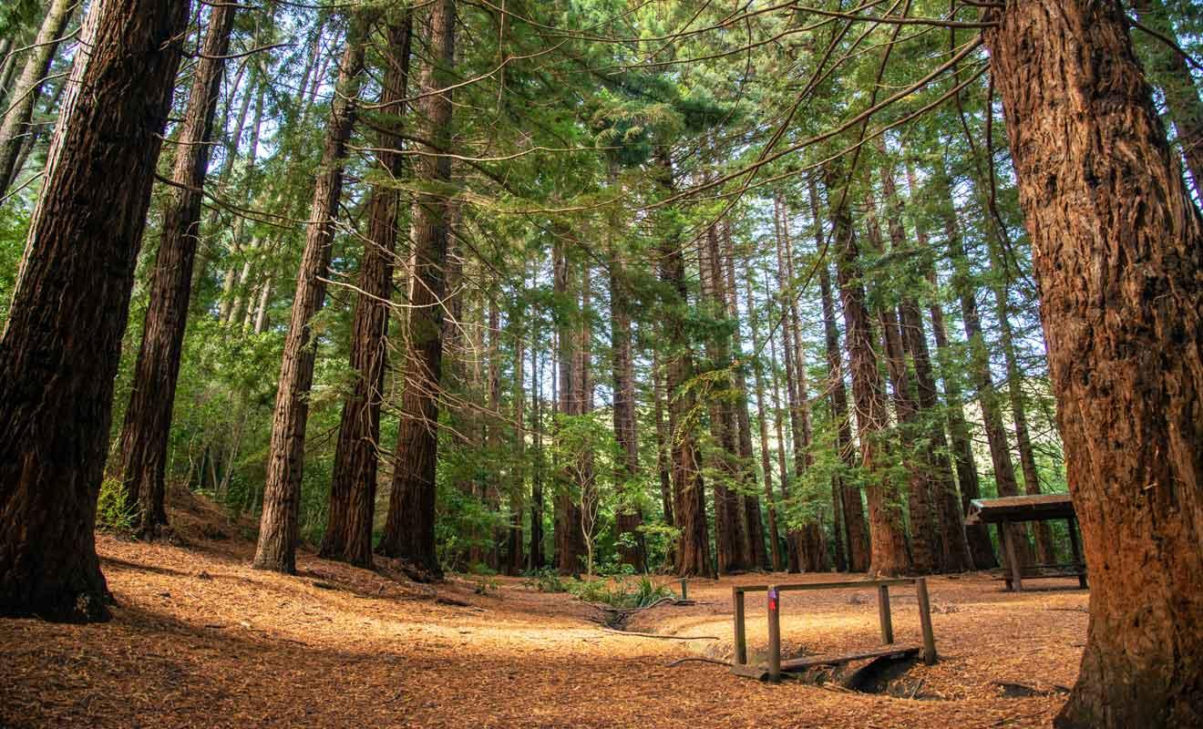 Les giant coastal redwoods ont été plantés en 1927.