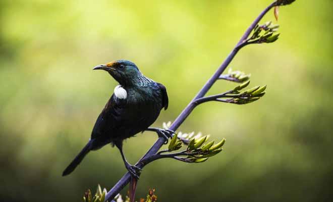 Bien qu'il ne soit pas un perroquet, le tui est capable d'imiter la voix humaine. Les Maoris lui apprenaient à répéter des phrases ou des chansons.