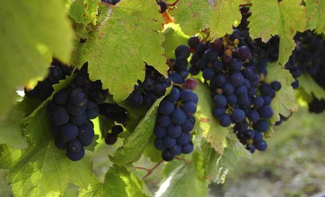 Les vignobles du Waikato bénéficient d'un bel ensoleillement et d'un climat doux toute l'année.