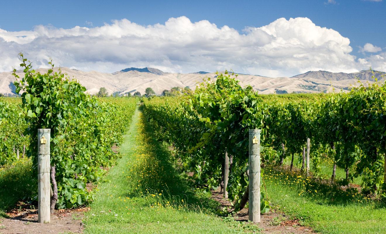 La Nouvelle-Zélande est réputée pour la qualité de ses vins, mais c'est surtout son sauvignon blanc qui fait l'unanimité et continue de remporter des trophées à l'international.