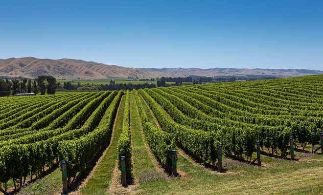 En moins de 20 ans, les viticulteurs néo-zélandais ont métamorphosé un vin mauvais en pur nectar ! Le Sauvignon blanc du Marlbrough a remporté de nombreux prix internationaux.