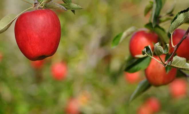 Comme tous les travaux en plein air, la récolte des fruits en Nouvelle-Zélande dépend en grande partie de la météo. Mais la pluie n'est pas le seul obstacle de ce job assez physique, il faut également prendre garde aux coups de soleil.