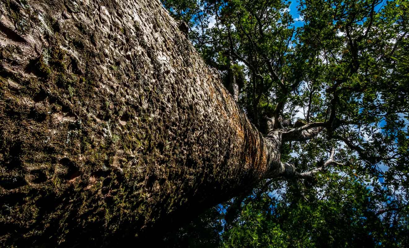 L'arbre est associé à une divinité dans les légendes maories.