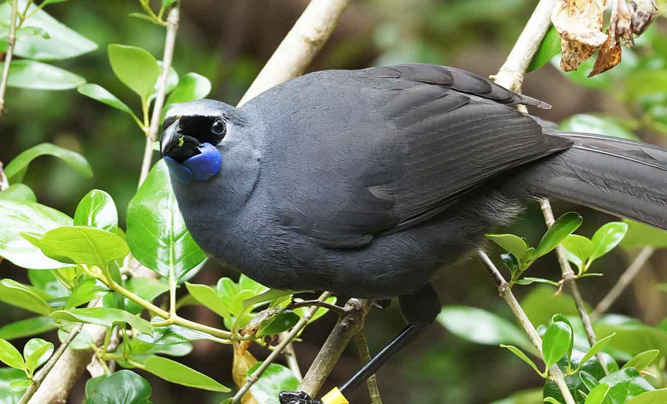Cet oiseau magnifique niche dans les branches d'arbres de la Waipoua Forest.