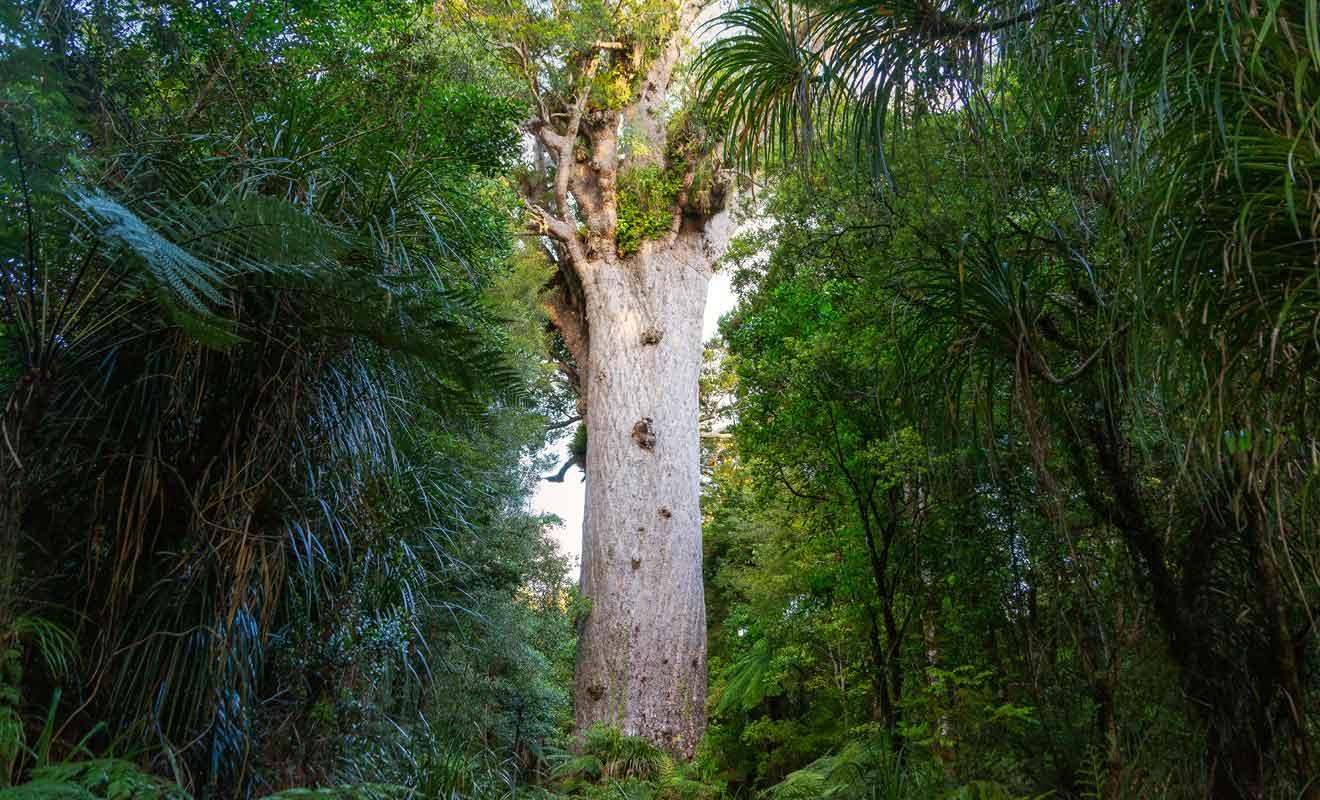 Pour les maoris, le Tāne Mahuta est le père de toute chose sur Terre.