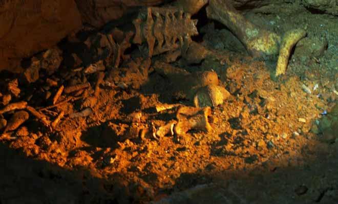 Certains animaux comme le moa (aujourd'hui disparu) se sont perdus dans les grottes. Parfois trompées par la lumière des vers luisants, les pauvres bêtes ont erré sans fin dans le noir avant de mourir d'épuisement.