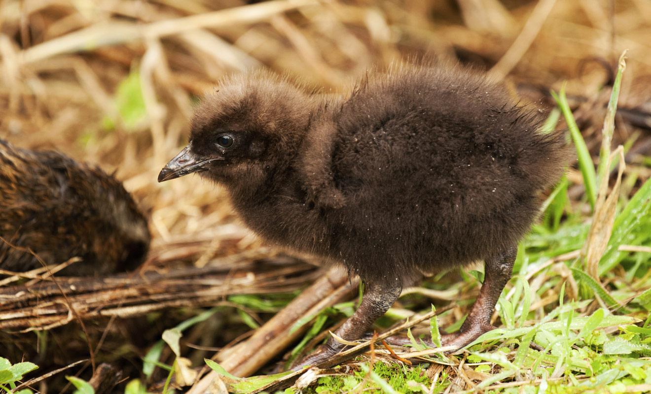 Vous n'aurez aucune difficulté à observer des wekas sur la West Coast de l'île du Sud (notamment dans les parages de Punakaiki où de Hokitika) où ces petits oiseaux sans ailes s'aventurent sans crainte dans les jardins des habitants.
