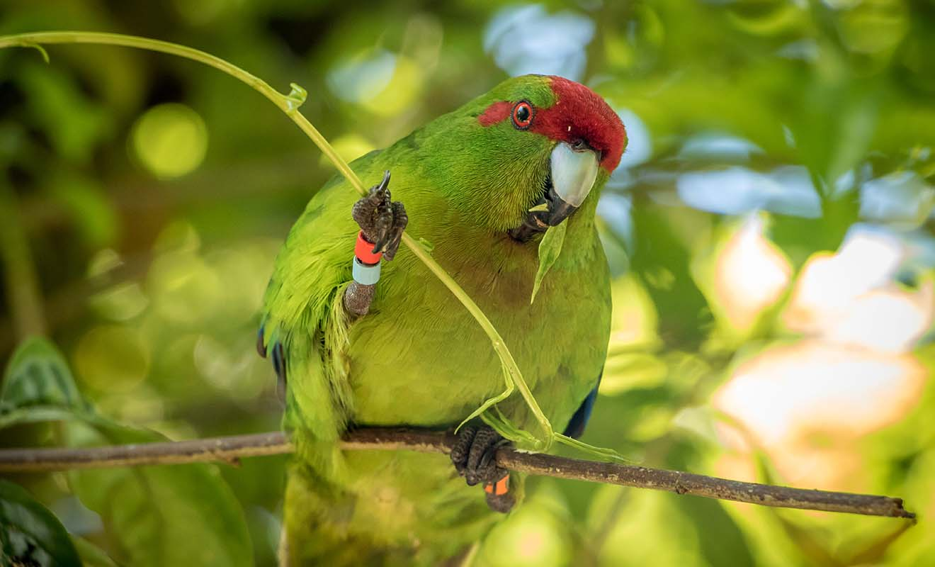 Situé dans les anciens réservoirs d'eau potable de Wellington, Zealandia est un sanctuaire pour une grande variété d'oiseaux. Zealandia se visite seul ou en compagnie d'un guide.