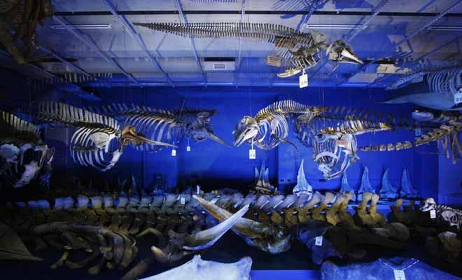 De nombreux squelettes de dinosaures sont exposés au Te Papa.