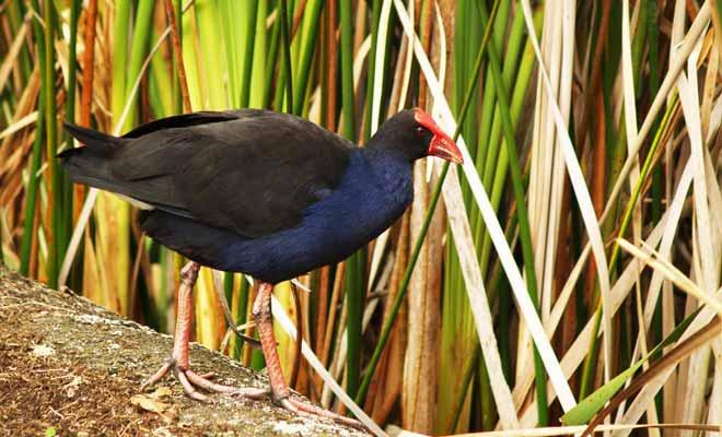 Le sanctuaire Karori de Zealandia abrite des tuaturas. Cette espèce endémique de Nouvelle-Zélande est protégée des prédateurs.