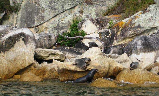 De bontzegels worden meestal gezien op de rotsen van de Tonga-eilanden, waar ze komen om van de zon te genieten.