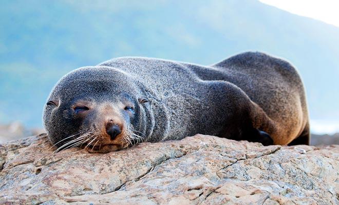 Boottochten rond het schiereiland. U kunt de bont zeehonden zien die op de rotsen leven.