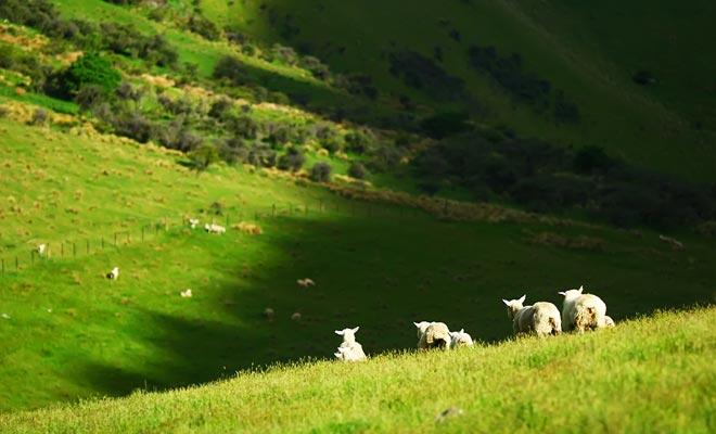 De duizenden schapen op het schiereiland hebben veel ruimte en genieten van de enorme groene heuvels met zacht gras.