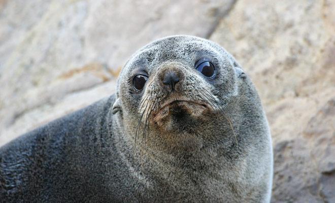 Las colonias de lobos marinos son fáciles de detectar en las rocas o playas de la Isla Sur (incluyendo Milford Sound y los Catlins).