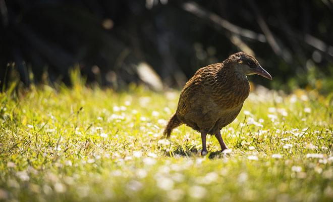 El weka es un pájaro sin alas sin que a veces se confunde con el Kiwi, aunque sus picos son totalmente diferentes. El Weka tiene sobre todo un carácter muy malo, y se muestra un luchador incluso con los de su especie.