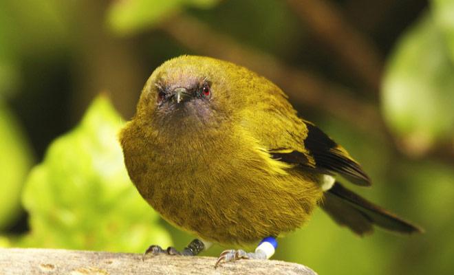 Nueva Zelanda fue una vez habitada exclusivamente por las aves, y fue el hombre que introdujo los primeros mamíferos (con probado a menudo catastrófico para el medio ambiente).