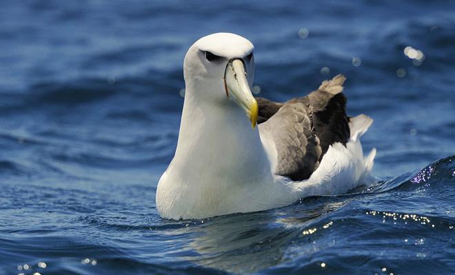 También hay albatros en Nueva Zelanda, con colonias de la península de Kaikoura. Si quieres observarlos, hay empresas que organizan salidas, pero a menudo será suficiente mirar hacia el cielo para verlas.