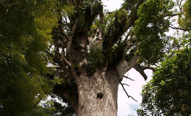El árbol Kauri crece más de 800 años y puede vivir durante casi 2000 años. Basta con observar su circunferencia de diez metros y su altura de cincuenta metros para comprender el carácter sagrado que le atribuyen los maoríes.