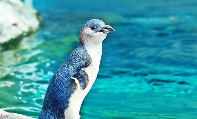 Los pingüinos azules deben ser respetados evitando acercarse a ellos. Son muy tímidos y después de todo están en casa ...