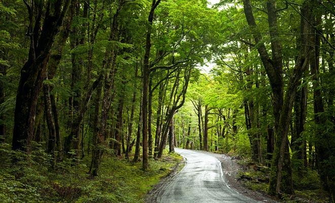 Los árboles que crecen en los bosques de la Isla Norte son generalmente coníferas.