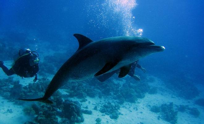 Als u duikt in een gebied bevolkt door dolfijnen (bijvoorbeeld in de Bay Of Islands) kunt u genieten van verrassende ontmoetingen ...