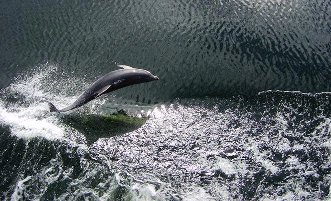 Hector dolfijnen rennen vaak met de schepen in Malaspina Reach. Helaas zijn ze minder en minder talrijk, en de reden voor deze afname is nog steeds onverklaarbaar.