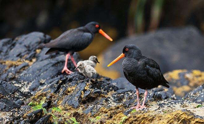 De immensiteit van het fjord lijkt verlaten, maar het is niet. Veel soorten bewonen in de kust en het bos. Dit is het geval, bijvoorbeeld van deze oestersvogels.