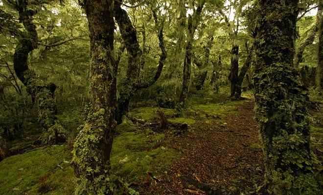 La lluvia que a menudo cae en Nueva Zelanda hace que el musgo verde o negro crezca en los troncos de los árboles.