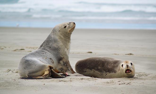 Es fácil identificar un león marino masculino de su hembra. El mal pesa dos veces a su dama! Mantenga su distancia, estos plácidos animales pueden ser agresivos si se acercan demasiado cerca.