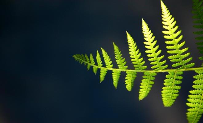 El helecho aparece en la segunda bandera oficial del país. Hay que decir que Nueva Zelanda tiene varios miles de variedades de helechos.