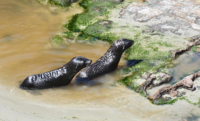 La cascada sirve como un patio de recreo para los bebés de leones marinos. Es por eso que se considera un vivero donde pueden entrenar para nadar con seguridad.