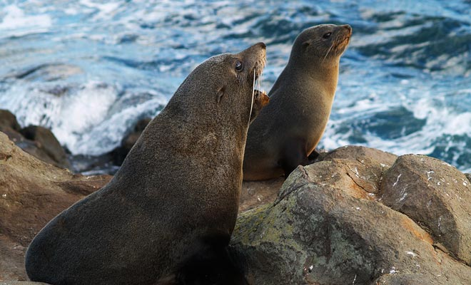 Es suficiente comparar la diferencia de peso para reconocer machos y hembras de lobos marinos. El macho pesa doble!