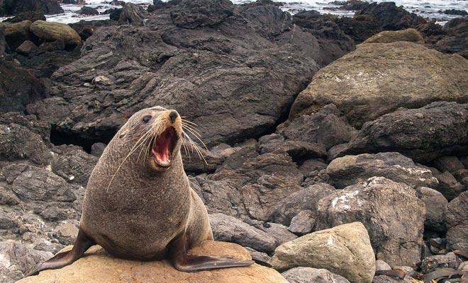 La caminata a Shag Point le permite observar focas.