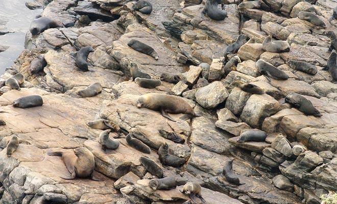 Las colonias de leones marinos están ahora protegidas, ya que la especie fue en gran medida exterminada por los cazadores.