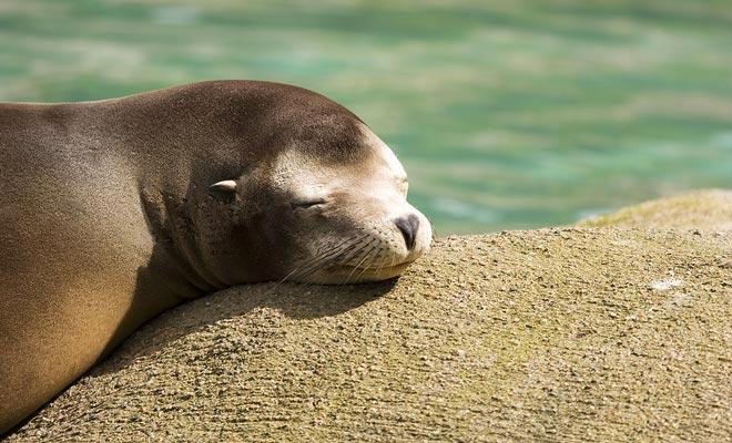 Het lijkt erop dat het napping in de zon de favoriete activiteit is van bontzegels.