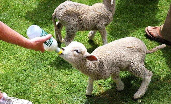 Het bezoek van Alexander Farm kan het bezoek afronden. U kunt geven om de fles naar lammeren te geven.