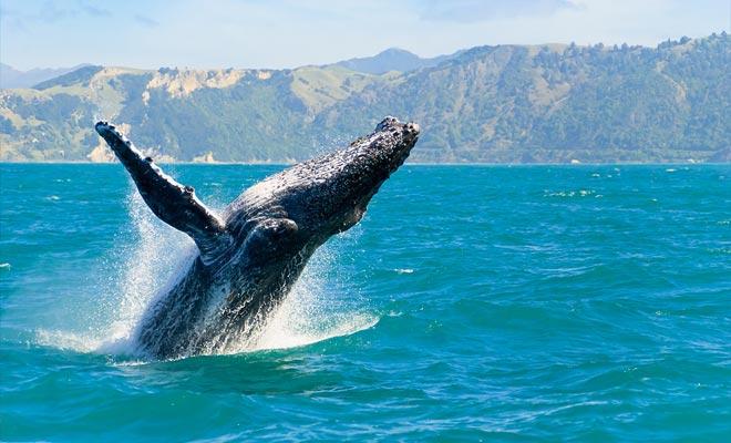 Het nemen van een fotovergadering walvis, zee en berg is alleen mogelijk in Kaikoura en nergens anders ter wereld.
