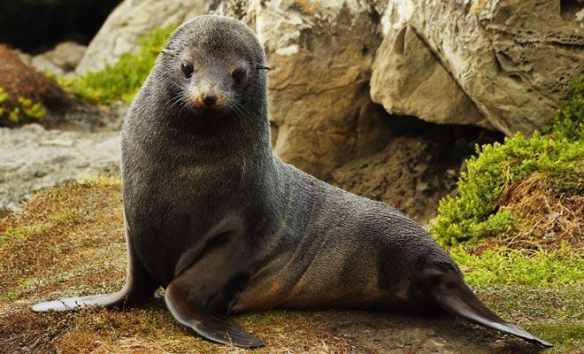 Si los bebés de lobos marinos son curiosos y parecen inofensivos, pueden morder. Además, los padres pueden no apreciar su visita ... Mantenga su distancia!