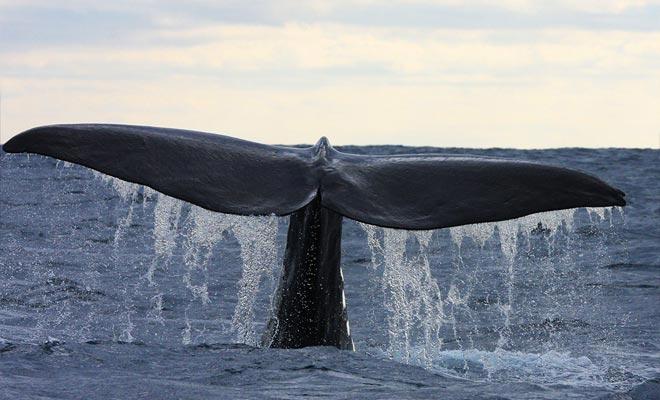 Las ballenas están presentes durante todo el año y el 99% de las excursiones permiten admirarlas. ¡Prepárate para fotografiar la cola gigante cuando la ballena se sumerge!