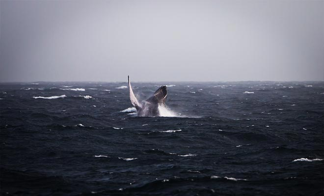 De kans om minstens één walvis te observeren is 99%! In tegendeel worden de reizigers vergoed door de organisator.