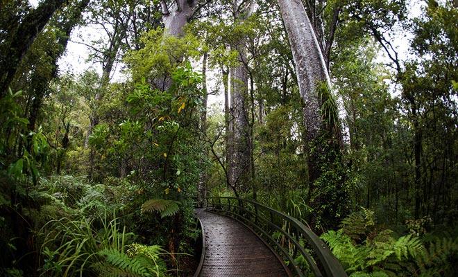 Un árbol kauri vive en promedio varios siglos, pero algunos alcanzan la edad canónica de mil años. Algunos árboles que verá datan del siglo X!